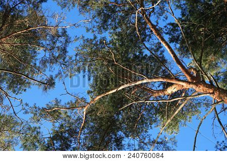 Closeup Of Old High Pine Trees Against Blue Sky