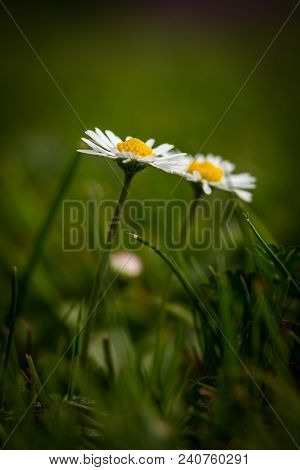 Detail Of Two Daisies With Nice Golden Center In Green Grass