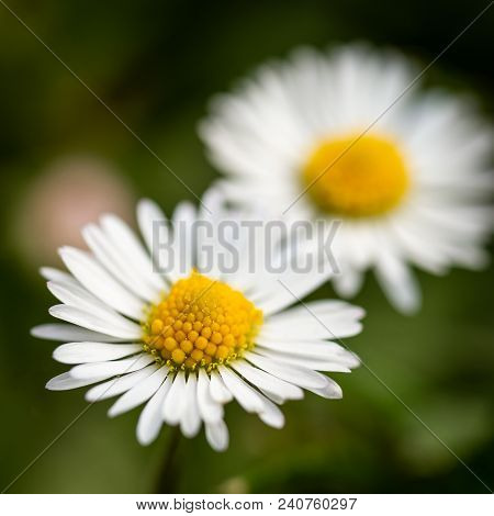 Detail Of Two Daisies With Nice Golden Center Which Grow In Green Lawn
