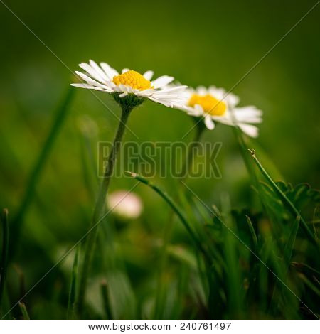Detail Of Two Nice Daisies With Nice Golden Center In Green Grass