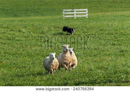 Sheep Dog Herds In Sheep (ovis Aries) - At Sheep Dog Herding Trials