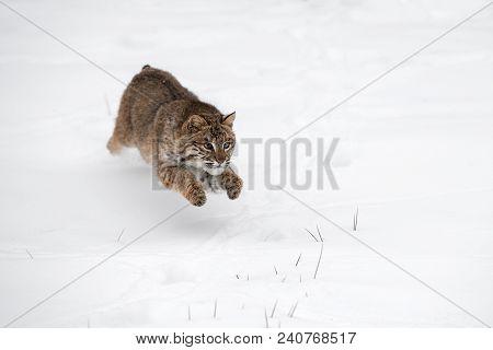 Bobcat (lynx Rufus) Leaps Through Snow - Captive Animal