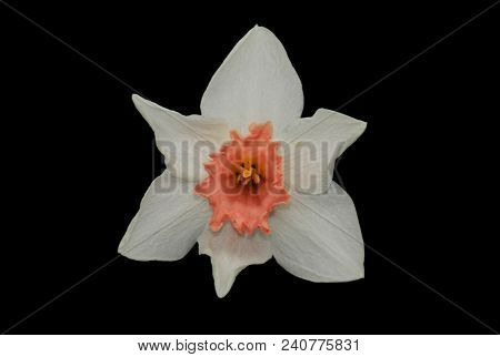 White Daffodils (narcissus) With Peach Colored Cup