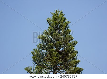 Green Leaf Of Big Pine Tree