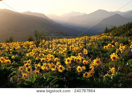 Arnica And Lupine Wildflowers In Meadows At Sunrise. Beautiful Landscape With Wild Sunflowers In Cas