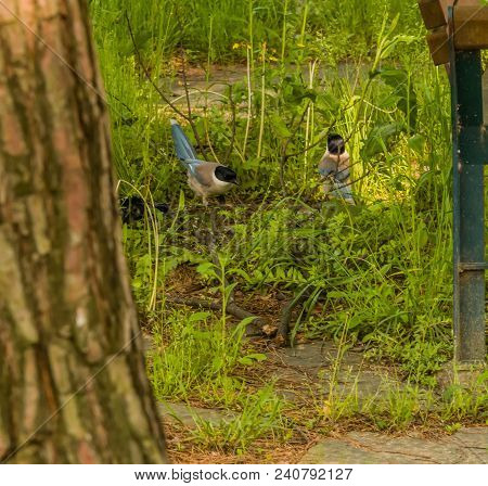 Two Azure-winged Magpie On Ground Standing In Tall Green Grass Between A Park Bench And A Tree.