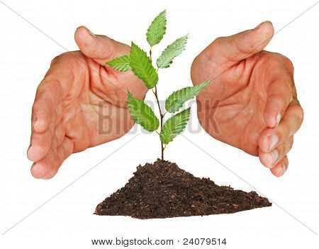 Sapling Protected By Hands