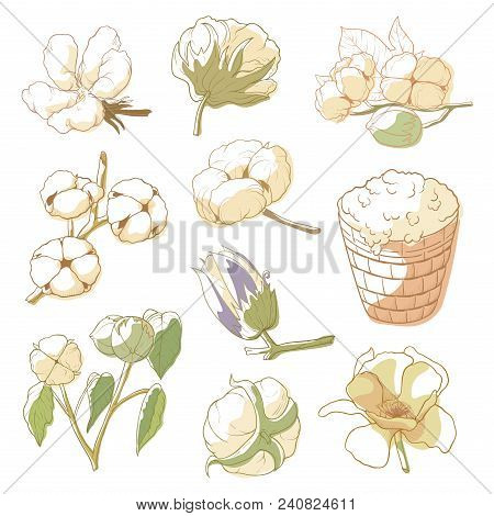 Cotton Plant Set. Soft, Fluffy Staple Fiber Grows In A Boll, Shrub Cultivated For Clothing Industry,