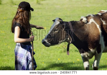 Girl And The Cow In A Field. Shepherd And Cow. Farmer Shepherd With Grazing Cows, Cowherd Woman With
