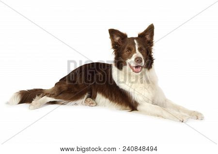 Purebred Collie Border Breed Dog, Three Years Old, Lying  And Looking At Camera Isolated On White Ba