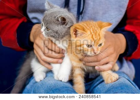 Boy Holds On His Hands  Small Gray And Orange Kitten Scottish Fold. Breeding And Selling Purebred Ca