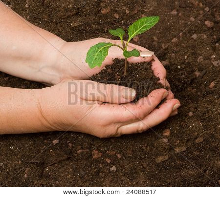 Tending Cabbage Seedling