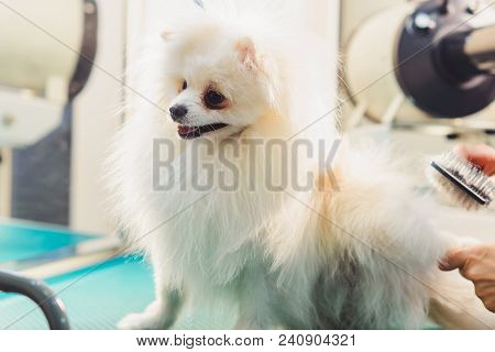 White Pomeranian Dog On The Table For Grooming In The Beauty Salon For Dogs. The Concept Of Populari