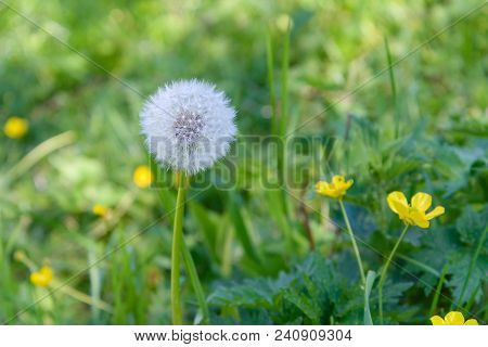 Dandelion On A Meadow Among Green Grass And Yellow Flowers
