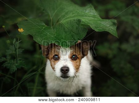 A Small Dog In The Rain Hides Under A Leaf. Dog Cute Jack Russell Terrier In Nature Hiding From The