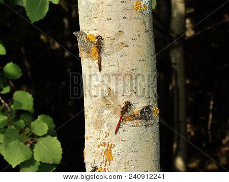 Two Red Dragonflies Are Sitting On A Gray Aspen Trunk Sometimes Covered With Yellow Moss.