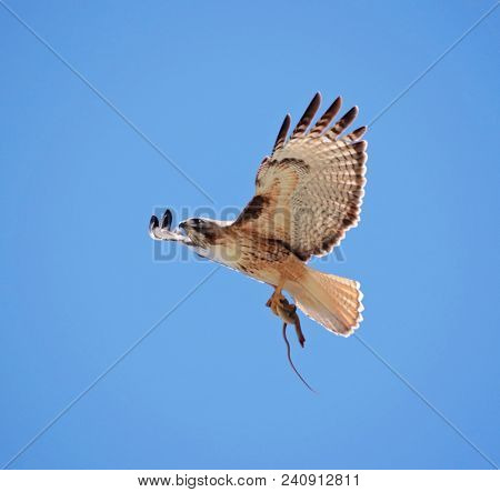 red tailed hawk flying back to the nest with a snake