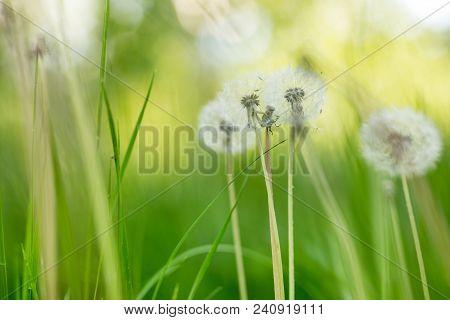 Green Freh Meadow With Beautiful Fluffydandellions. Natural Soft Summer Or Spring Background. Shallo