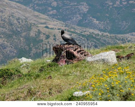 Predatory bird sitting on dead horse body laying on a meadow along the way to Punta la Marmora, Gennargentu National Parks in Sardinia, Italy poster