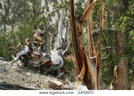 Ancient Bristlecone Pine Tree  In White Mountains Of California