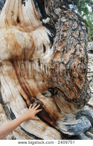 child's hand on ancient bristlecone pine tree in White Mountains of California poster