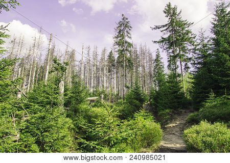 Mountain Path Among The Green Small Trees And Large Old Withered Pines On The Background Of The Purp