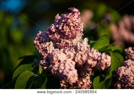beautiful lila , fresh lilac, tu breathe the scent ol lilac poster