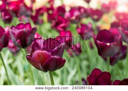 Colorful Maroon Tulips Flowers Blooming In A Garden