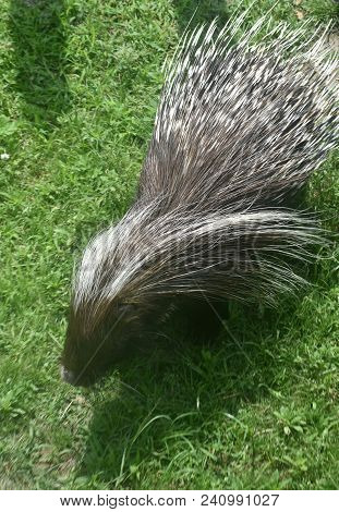 Pretty Porcupine With Prickly Quills Down His Back