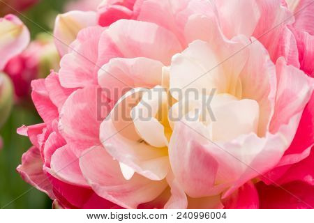 Terry White Pink Tulip. Macro Selective Focus. Flower Background Close Up