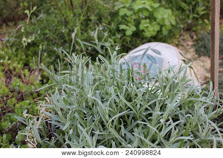 Snow In Summer Plant In The Permaculture Garden, Decorated With The Pot. Silver Leaves Of Cerastium