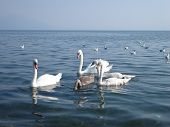 Beautiful swans swimming in a lake Ohrid. poster
