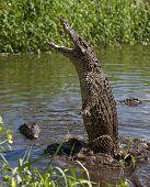 Attack crocodile. Cuban Crocodile ( crocodylus rhombifer ) poster