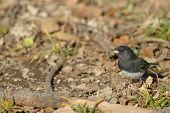 A dark-eyed junco bird on the ground scratching for seeds. poster