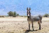 Somali wild donkey (Equus africanus). This species is extremely rare both in nature and in captivity. Nowadays it inhabits nature reserve near Eilat, Israel poster