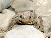 Toad (frog) sitting between the stones, front view poster