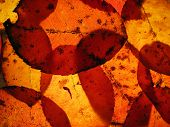closeup of backlit autumn leaves poster