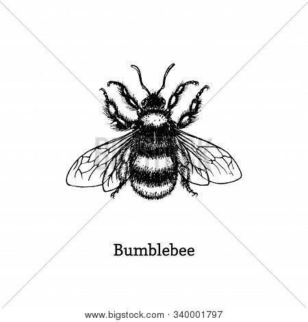 Bumblebee Vector Illustration. Hand Drawn Sketch Of Insect In Vintage Style