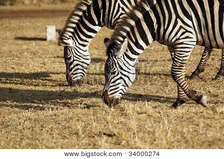 Wild Zebra Couple Grazing