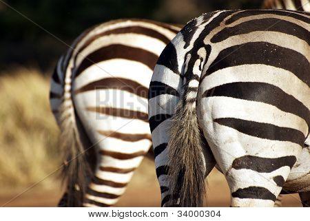 Wild Zebra Bottoms