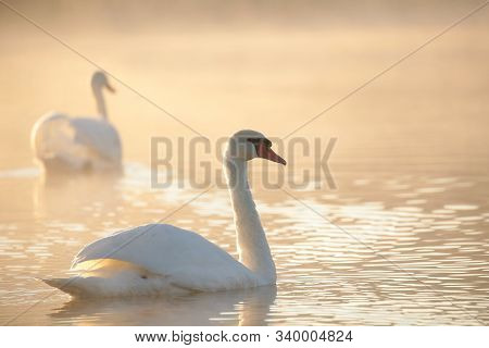 Swans on lake dawn sunrise sun sunset morning orange Nature background. Nature background Nature background Nature background beautiful water pond dusk Nature background romantic Nature background couple swan Nature background. Nature background.