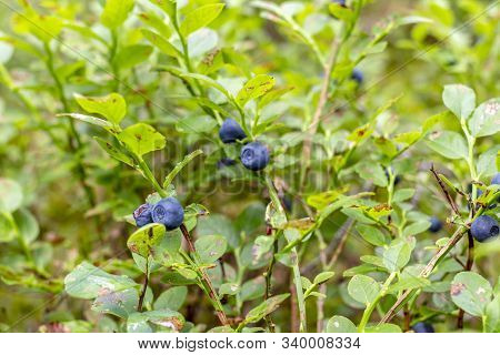 Berry, Blueberry. Natural, In The Wild. Environmentally Friendly Product. Wild Berry.