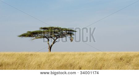 Panorama Of A Lonely Acacia Tree In Serengeti