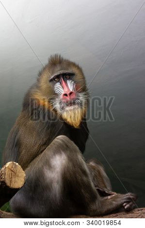 Big Monkey Of Mandrill Breed, Sphinx Mandrillus, Primate Of Old World Monkey Family