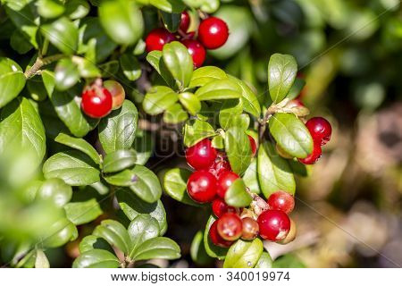 Red Cranberry Berry In Natural Nature. Forest Berry, Environmentally Friendly Product. Home Treatmen