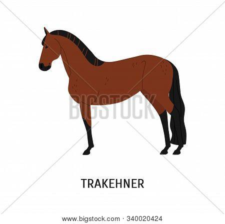 Trakehner Horse Flat Vector Illustration. Elegant Brown Stallion Isolated On White Background. Carto