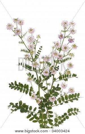 pink Vetch (Securigera varia) on white background poster