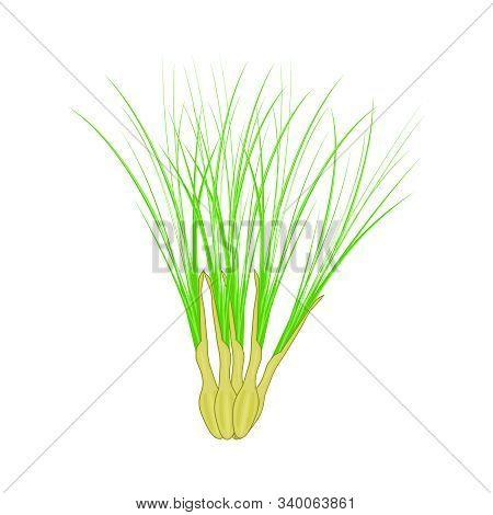 Lemongrass Isolated On White Background. Lemongrass, Or Citronella Leaves In Cartoon Style For Cosme