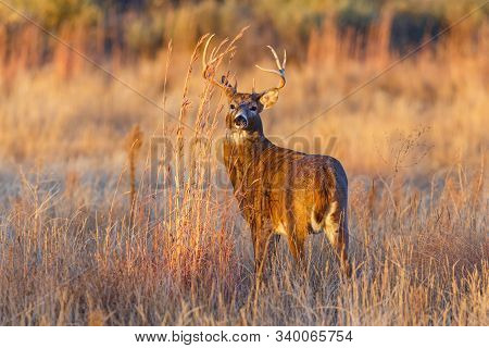 Wildlife Of Colorado. Wild Deer In Their Natural Environment In Colorado. White-tailed Buck