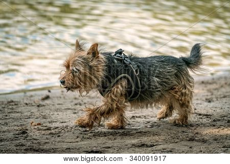 Cairn Terrier Cross Breed For A Walk On A Beach Near A Lake On A Sunny Autumn Day